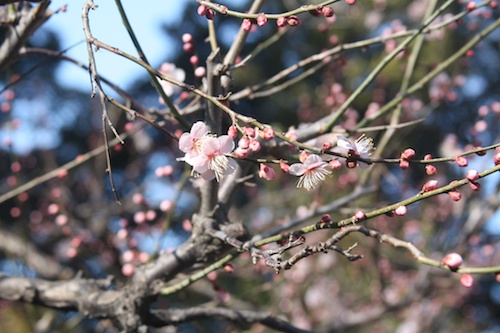 plum blossoms confused by the unseasonably warm weather