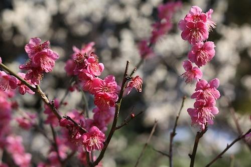 Tokyo Plum Blossoms